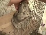Chinchilla Enjoys A Relaxing Massage
