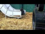 Cute Baby Gorillas Playing Enjoying Play Time