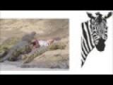 Crocodilia Attack Zebra