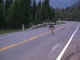 Coyote Chases Cougar