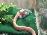 Cobra Snake White In Aquarium