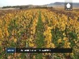 Champagne Adopts Methods To Defend The Fizz From Climate Change