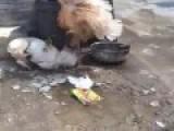 Crazy Old Hen War Deified Dog
