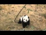 Cute Panda Baby Playing With Bamboo