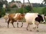 Cows Going Home In Andrushivka, Ukraine