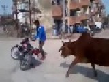 Cows Chase Off Biker