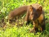 Cute And Curious Pine Marten Gets Fed