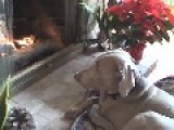 Dog Carries Bed To Fire