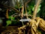 Deinopidae: A Net-Casting Spider...Casting It's Net