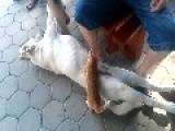 Dog Breastfeeds Kitten On Slovenian Farm