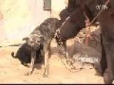 Dog As Wet Nurse For Donkey