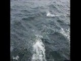 Dall Porpoises Riding Off Our Bow