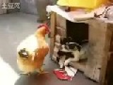 Dog Drags The Chicken To His Room Then Trying To Rap The Chicken