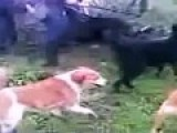 Dogs Attack And Killed Wild Boar Compilation Warning * Graphic *