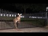 Deer Gets Stuck In Cemetery Fence