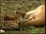 Deer Trolls Cheetah And Hyena!
