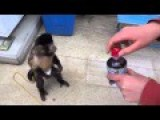 Diapered Monkey Buys Juice From Vending Machine For His Human Friend