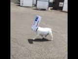 Diesel The Bulldog Finds A Box To Play With