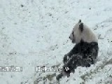 Da Mao - Giant Panda - Having A Blast In The Snow