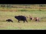 Dramatic Hunt: Lions Vs Buffalo Cow & Newborn Calf