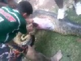 Dog Eaten Up By Anaconda