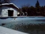 Ducks And Pool
