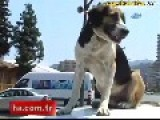 Dog Over Speeding Car