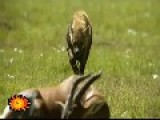 Death By Hyena -- Animal Eaten Alive Starting From His Genitals