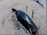 Drone Footage Shows Sperm Whales Stranded On Australian Beach