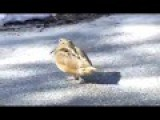 Dancing Woodcock Gets Down To Smooth Criminal
