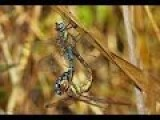 Dragonflies Mating Migrant Hawker 1080p
