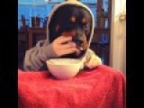 Dog With Hands And Hoodie Eating Breakfast