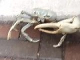 DON'T BE CRABBY - Biggest Land Crab He's Ever Seen