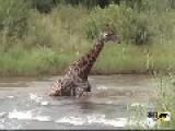 Drowning Giraffe