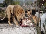 Danish Zoo Behind Giraffe Killing Puts Down 4 Lions!