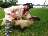Drunk Guy Rides A Sheep And Pays The Price