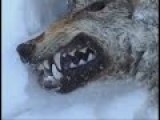 Dog Fighting With Wolf