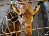 Denmark To Execute Yet Another Giraffe Named Marius