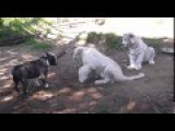 Dog Fight To Lion And Tiger
