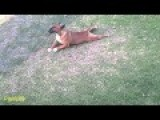 Dog Scratching His Balls On The Lawn