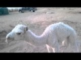 Disturbing Video Of A Baby Camel In Saudi Arabia