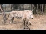Do Not PissOff White Tiger