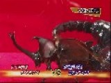 Emperor Scorpion VS Japanese Rhinoceros Beetle