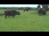 Elephant Kicks A Buffalo In The Head
