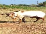 Erect Goat Proudly Urinating Into His His Mouth