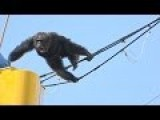 Escapee Male Chimp Crashes Hard On The Ground After Being Tranquilized