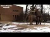 Elephant Mating Video Elephant Makes Love