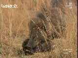 Epic Hyena Survives Brutal 3 Time Lion Attack And Lives