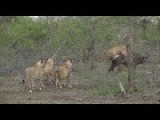 Elephants Rescue Buffalo Mid Lion Hunt