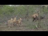 Elephants Rescue Buffalo Mid Lion Hunt